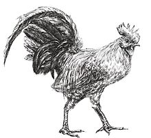 Rooster by Anthropolog