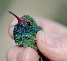 Banding of Hummingbirds  by Judy Grant