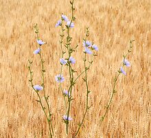 chicory in wheat by jimHphoto