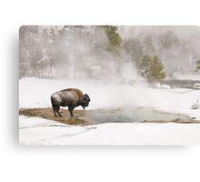 Bison Keeping Warm, Yellowstone National Park Metal Print