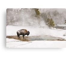 Bison Keeping Warm, Yellowstone National Park Canvas Print