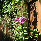 Clematis Sunbathing by MidnightMelody