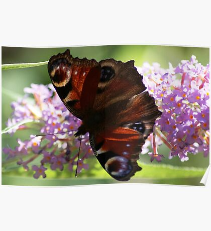 Light'n'Dark, Peacock butterfly on buddleia Poster