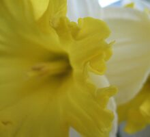 Not so distant Daffodil by MarianBendeth
