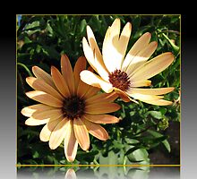 Sunlight and Shadow - Two Peach Cape Daisies by BlueMoonRose