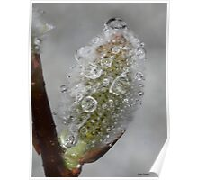 Water drops on pussy willow Poster