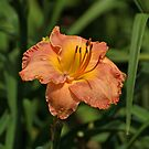 Gorgeous Daylily by Sandy Keeton