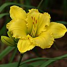 Yellow Daylily by Sandy Keeton