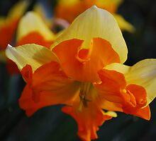Daffodil by Lozzar Flowers & Art