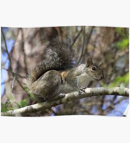 Florida Squirrel Poster