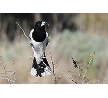 Pied Butcherbird Photographic Print