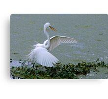 Avery Island Egrets--Stick Fisherman Canvas Print