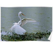 Avery Island Egrets--Stick Fisherman Poster
