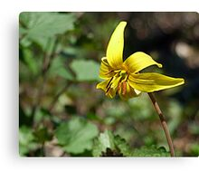 Adder's Tongue (or Yellow Trout Lily) Canvas Print