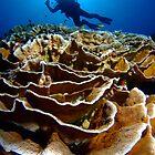 Red Cabbage Coral, Cocos Island, Australia by Sean Elliott