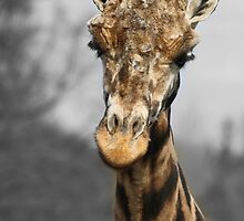 Giraffe at west midlands safari park by Evette Lisle