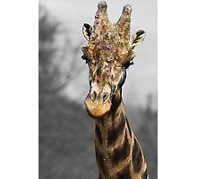 Giraffe at west midlands safari park Photographic Print
