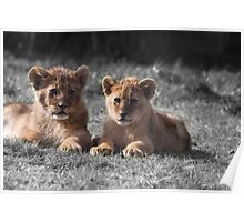 Baby Lion Cubs Poster
