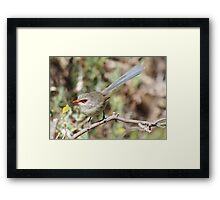Variegated Fairy Wren Framed Print