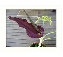 Purple Dragon Arum Lily. Art Print