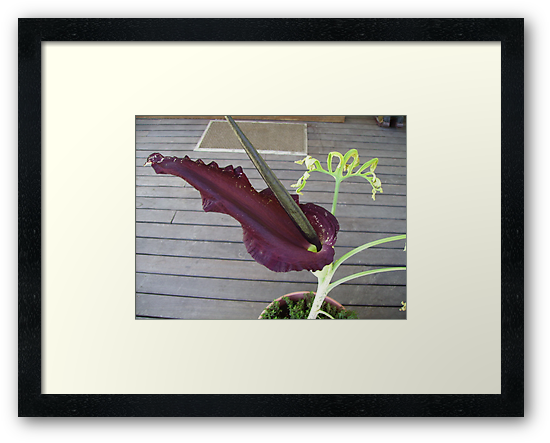 Purple Dragon Arum Lily. by Mywildscapepics