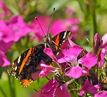 Red Admiral by Nick Conde-Dudding