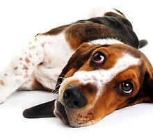 basset hound by Chukie