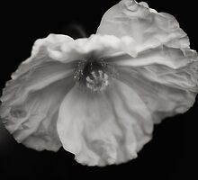 Poppy in Black and White by Jacque Gates