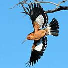 African Hoopoe by Selsong