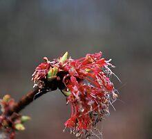Maple bloom  by Jeff Stroud