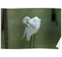 Avery Island Egrets--Preening Time Poster