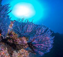 Sea Fan by wildshot