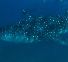 Whale shark with diver by wildshot