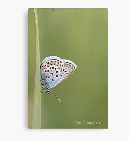 Common Blue, polyommatus icarus Canvas Print