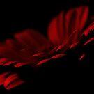 Gerbera in Darkness by Stas Medvedev