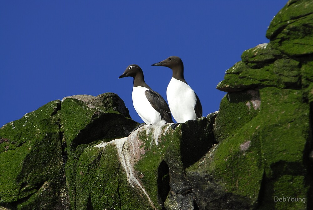Common Murres by DebYoung
