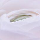 Ranunculus by Stas Medvedev