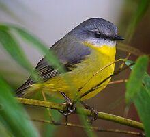 Eastern Yellow Robin 2 by D-GaP