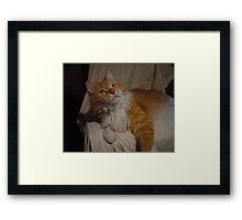 Content Maine Coon Cat Framed Print