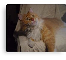 Content Maine Coon Cat Metal Print