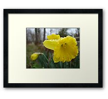 Droplets on the Daffodils Framed Print