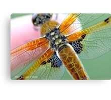 Four-spotted Chaser wings, Libellula quadrimaculata on photographer's finger Canvas Print