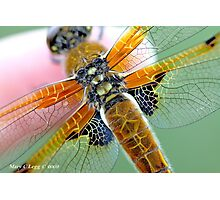 Four-spotted Chaser wings, Libellula quadrimaculata on photographer's finger Photographic Print