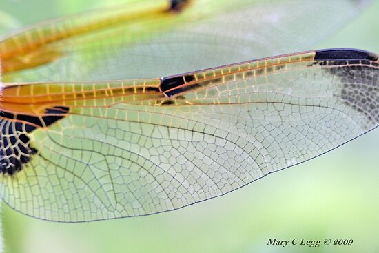 Four-spotted Chaser wings, Libellula quadrimaculata by pogomcl