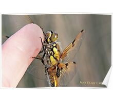 Four-spotted Chaser wings, Libellula quadrimaculata on photographer's finger Poster