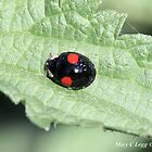 Halequin Ladybrd beetle, Harmonia axyridis var. spectabilis by pogomcl