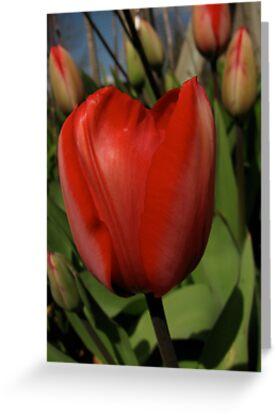 Red Tulip by bicyclegirl