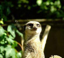 Bemused Meerkat by Malky-C