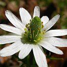White Blooming Weed Flower by Sandra Moore