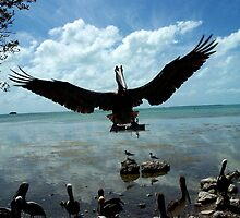 Pelican in Flight in Key West Florida Wild Bird photography by Rick Short